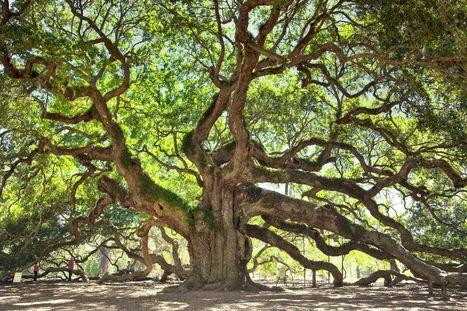 The Angel and the Angel Oak | Howie Siegel | Civil War in South Carolina | Scoop.it