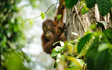 Palm Oil Company Gets What it Deserves for Destroying Orangutans' Home | Life on Earth | Scoop.it