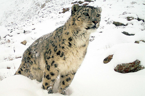 A New Snow Leopard Population Estimate Has Scientists on Edge | Conservation | Scoop.it
