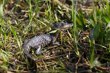 Gators Battle On A Golf Course [VIDEO] « CBS Detroit | Covers | Scoop.it