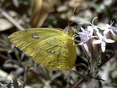 WATER WISE: The vital role of butterflies    Sierra Vista (AZ) Herald   CALS in the News   Scoop.it