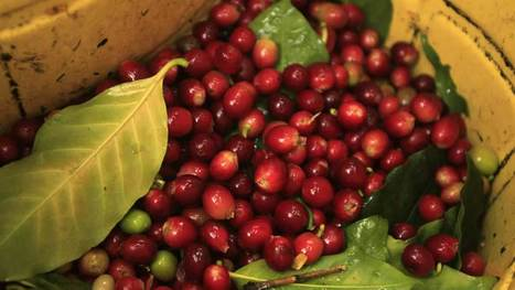 Coffee beans in danger of extinction due to climate change | Amazing Science | Scoop.it