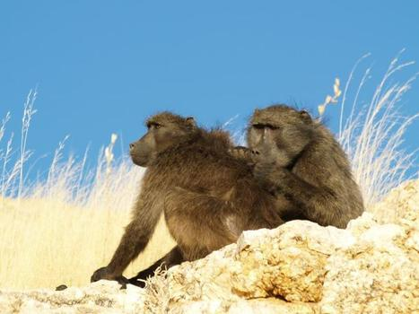 Baboons groom early in the day to get benefits later | animals and prosocial capacities | Scoop.it