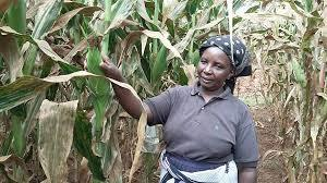 Tanzania to begin confined trials of drought, pest resistant GMO maize | MAIZE | Scoop.it