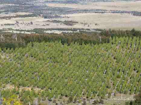 Au Chili, il y a du pin sur la planche   Effets de terre   Connaissance du Chili   Scoop.it