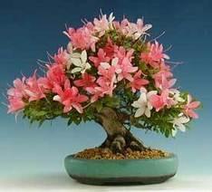 Azalea - Azalea spp. - BONSAI | Los bonsai | Scoop.it
