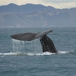Whale watching book questions industry sustainability - Phys.Org | Make an impact | Scoop.it