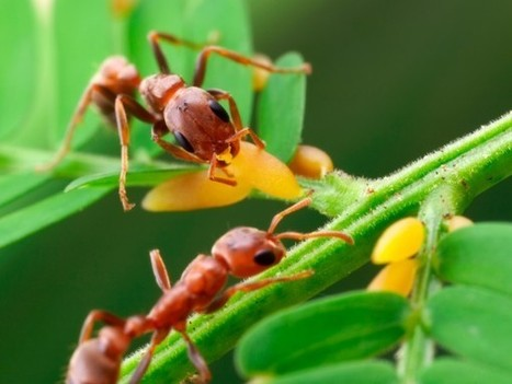 Why some ants have bigger brains | All About Ants | Scoop.it