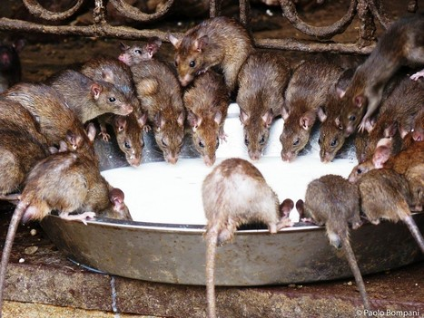 Thousands of Rats Rule This Indian Temple | geo | Scoop.it