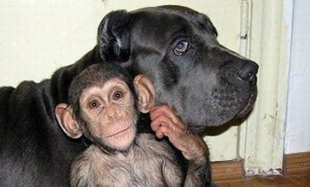 Orphaned Baby Chimp Adopted by Dog (Photos) | This Gives Me Hope | Scoop.it