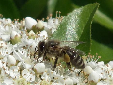 juwi's welt: Deutschland blockiert Schutz der Bienen   Bienen   Scoop.it