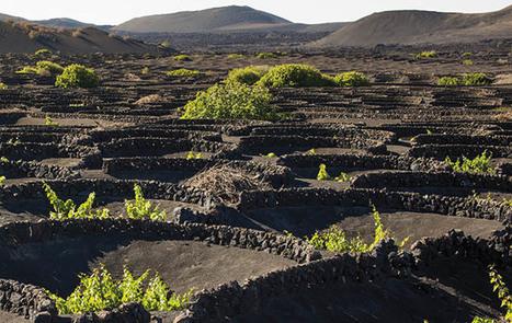 Sombras sobre La Geria: el paisaje más frágil se enfrenta a múltiples retos y amenazas | DiariodeLanzarote | Noticias DENOMINACIONES DE ORIGEN DE ESPAÑA | Scoop.it