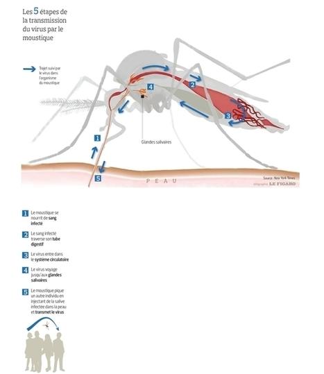 [Infographie] Zika : Les 5 étapes de la transmission du virus par le moustique | Biologie 2.0 | Scoop.it