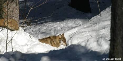 Le loup fait son entrée dans l'inventaire national du patrimoine naturel | Biodiversité | Scoop.it