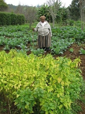 Digital filmmakers (and others) tackle African leafy greens | Agricultural Biodiversity | Scoop.it