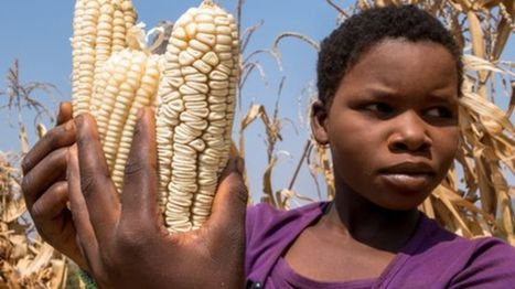 New crop varieties 'can't keep up with global warming' - BBC News   CGIAR Climate in the News   Scoop.it