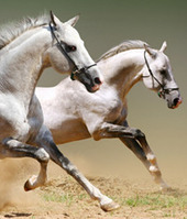 Horse and Equine Colic Medications   Equine Gastric Ulcer Treatment   Abler Equine Pharmaceuticals   Scoop.it