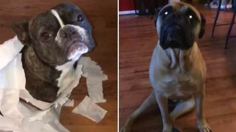 Not me! Bullmastiff tells on pooch pal after owner finds mess - Today.com | Dog Lovers | Scoop.it