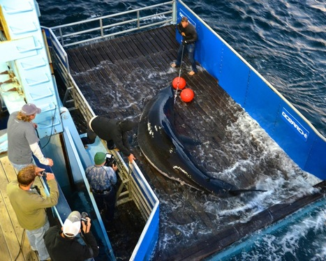 Researchers track great white off Grand Strand coast | The Grand Strand of South Carolina | Scoop.it