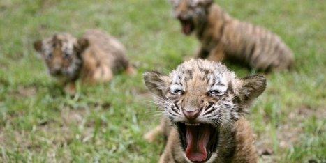 Trafic d'animaux : cinq bébés tigres, 300 varans et une dizaine de tortues saisies en Thailande | Nature Animals humankind | Scoop.it