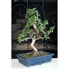 Indoor Bonsai Plants For Beginners | News | Scoop.it
