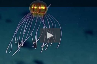 Une incroyable méduse découverte dans les profondeurs du Pacifique   Surprenante vie sous-marine   Scoop.it