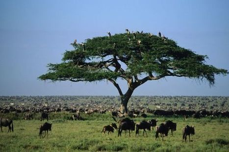 A New Threat in the Serengeti to the World's Greatest Animal Migration | Wildlife and Environmental Conservation | Scoop.it