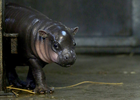 Tiny, rare hippo born in England | enjoy yourself | Scoop.it