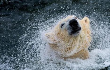 Le WWF inquiet pour l'ours blanc, menacé par le réchauffement de l'Arctique | Biodiversité | Scoop.it
