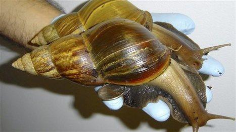 Les escargots géants africains envahissent la Floride - Radio-Canada | Education environnement | Scoop.it