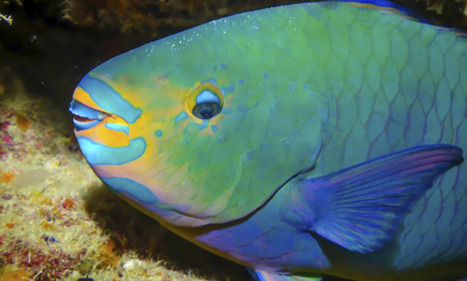 Meet the sand-pooping, reef-saving, hermaphroditic parrotfish - The Week Magazine | Coral Reef Ecology | Scoop.it