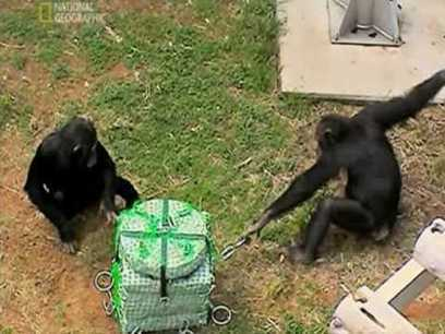 La inteligencia de los chimpancés | Agua | Scoop.it