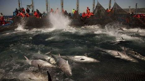 200 tons of illegally caught Atlantic bluefin tuna show how we're driving these fish to extinction | All about water, the oceans, environmental issues | Scoop.it
