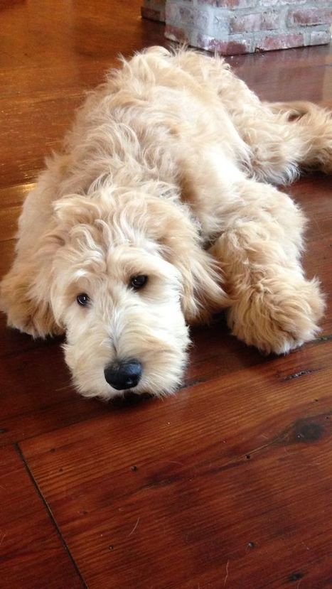 Reasons Why You Should Never Own Goldendoodles – Things only get worse when they are older… | Dog Pictures - Pindoggy | Scoop.it