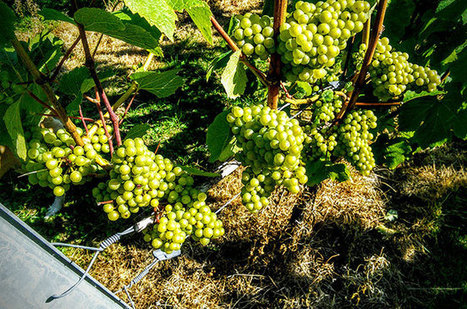 Jefford: English #wine quality nears 'Marlborough moment' | Vitabella Wine Daily Gossip | Scoop.it