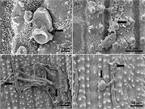Defence responses in rice plants in prior and simultaneous applications of Cladosporium sp. during leaf blast suppression | Rice Blast | Scoop.it