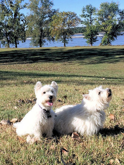 Silent Saturday on Sunday   West Highland White Terrier   Scoop.it
