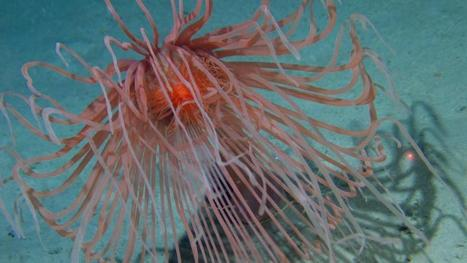 Giant hydroid found in Irish deep-sea expedition - Irish Times | Amocean OceanScoops | Scoop.it