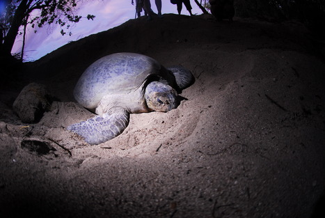 Sea Turtle Baby Boom on Turtle Islands Breaks 28-year Record - Conservation International   Animal conservation   Scoop.it