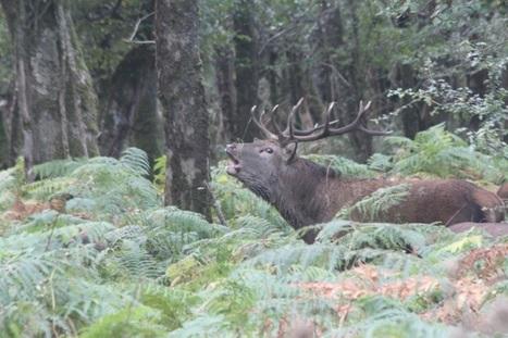 Antlers at dawn: Killarney's red deer rut - Ireland's Wildlife | Oceans and Wildlife | Scoop.it
