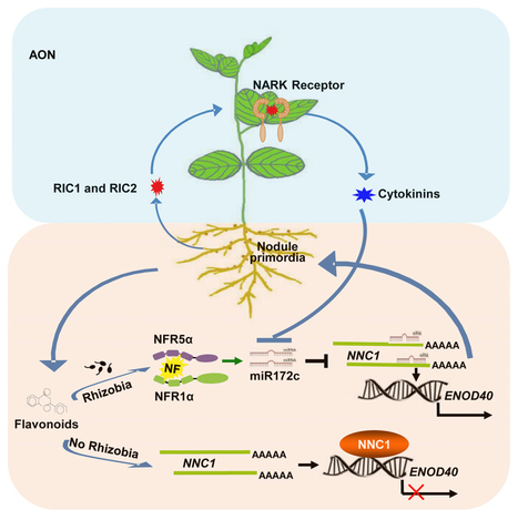 Soybean miR172c Targets the Repressive AP2 Transcription Factor NNC1 to Activate ENOD40 Expression and Regulate Nodule Initiation | Symbiotic Nitrogen Fixation | Scoop.it