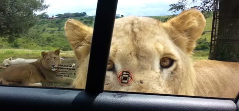 Yikes, Lions Can Open Car Doors Now! Goodbye Human Race. | Prozac Moments | Scoop.it