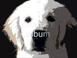 Golden Retriever puppy-Beanie's Album   How can I do....?   Scoop.it