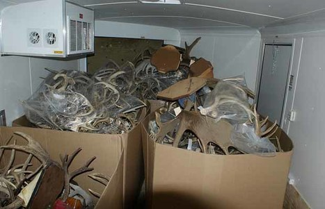 Hundreds of antlers seized in big-game trafficking bust southeast of Edmonton | Wildlife Trafficking: Who Does it? Allows it? | Scoop.it