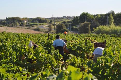 Des vendanges bouleversées | Le Vin et + encore | Scoop.it