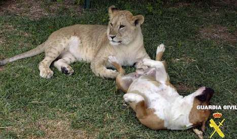 Lioness found living in Badajoz urbanisation | Family Life In Spain | Scoop.it