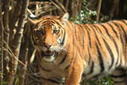 Scientists: to save the Malayan tiger, save its prey | Environment and Conservation News | Scoop.it
