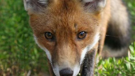 Pesky ferals now targeted | NSW National Parks | Scoop.it