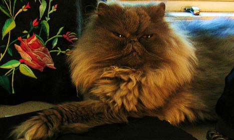stuart the persian cat | PERSIAN CATS | Scoop.it