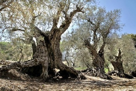 The World's Oldest Living Olive Trees Are Lebanese | Forest Keepers Tree news | Scoop.it